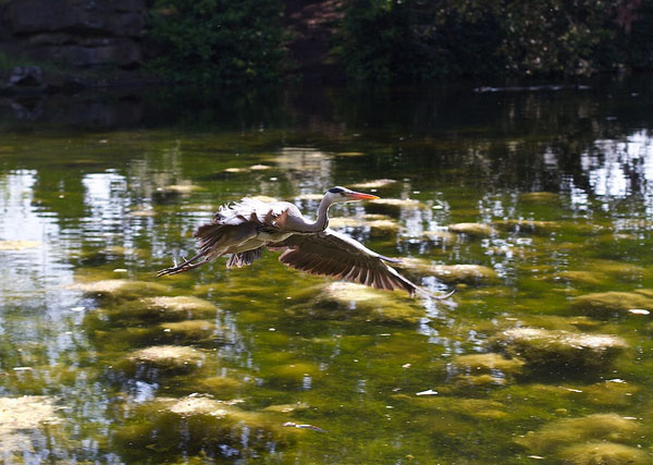Heron hovering over a pond in St Stephens Green, Dublin